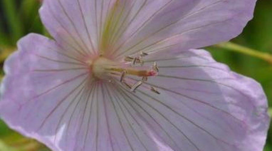 Geranium Clarkei Kashmir Pink