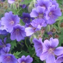 Geranium Kashmir Blue