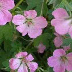 Geranium Mavis Simpson
