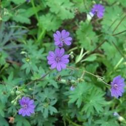 Geranium Pyrenacium Bill Wallis