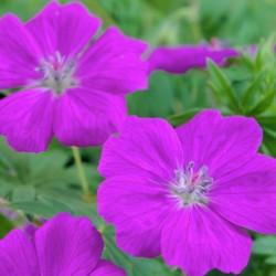 Geranium Sanguinium New Hampshire Purple