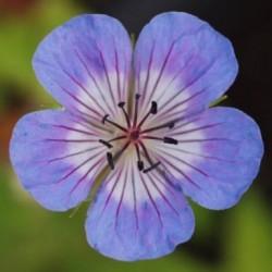 Geranium Wallichianum Buxtons Variety