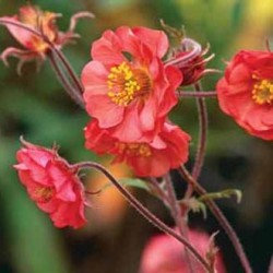 Geum Hybrida Flames Of Passion