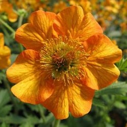 Geum Hybrida Totally Tangerine