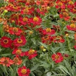 Helenium Helena Red