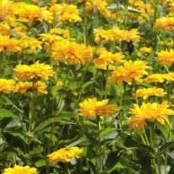 Heliopsis  Summer Sun