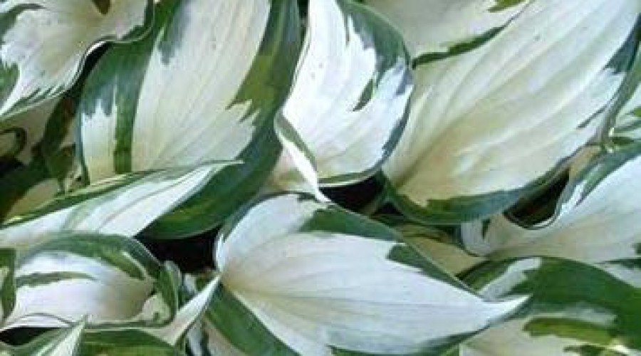 Hosta Fire & Ice