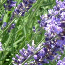Lavandula Intermedia Dutch