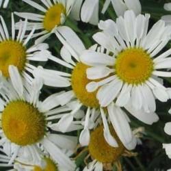 Leucanthemum Silver Spoons