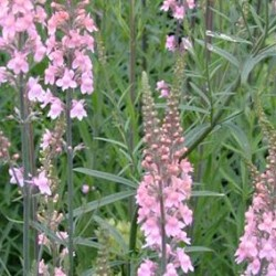 Linaria Purpurea Cannon Went