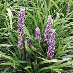 Liriope Muscari Lilac Wonder
