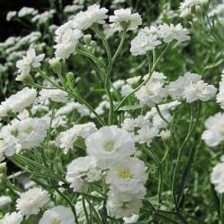 Gypsophila Paniculata Snowflake