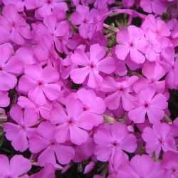 Phlox McDaniels Cushion