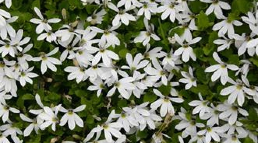 Pratia Angulata Treadwellii