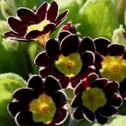 Primula Gold Lace Black