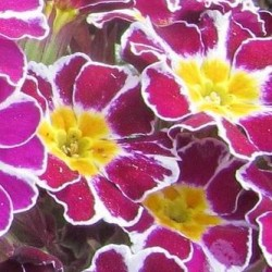 Primula Silver Lace Purple