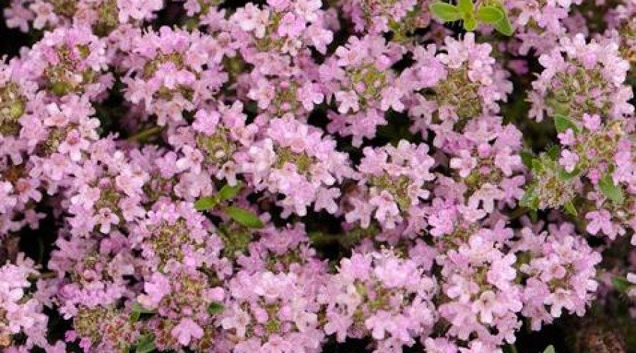 Thymus Serphyllum Magic Carpet
