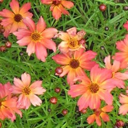 Coreopsis Limerock Dream