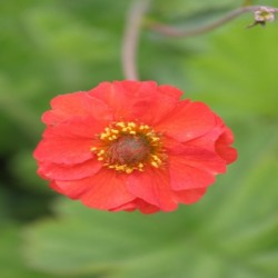 Geum Red Wings