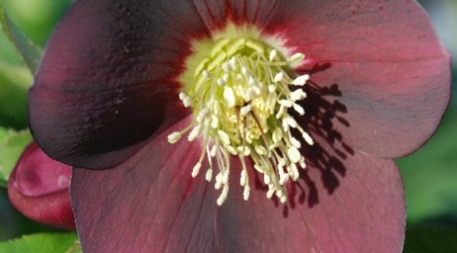 Helleborus Red Lady
