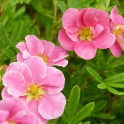 Potentilla Pink Queen