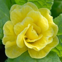 Primula  Buttercup Yellow