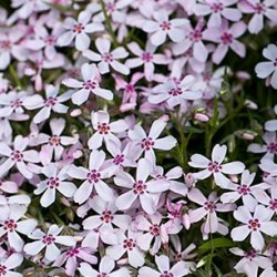 Phlox  Apple Blossom