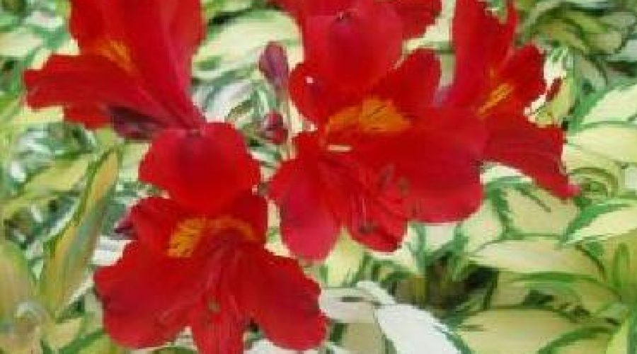 Alstroemeria Rock n Roll