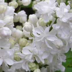 Syringa  Miss Ellen Willmott
