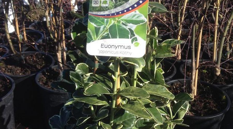 Euonymus Japonicus Kathy