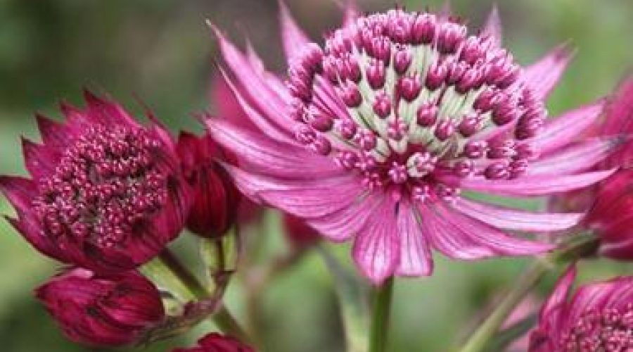 Astrantia Star of Treasure
