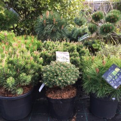 Pines Conifers