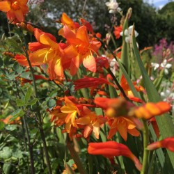 Crocosmia Orange Pekoe