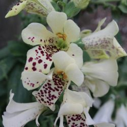 Digitalis Orchid
