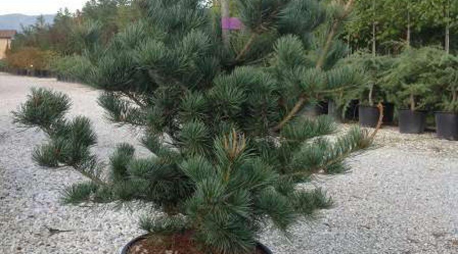 Pinus Parviflora Negishi