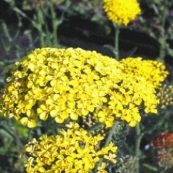 Acillea_Filipendula_Cloth_of_Gold