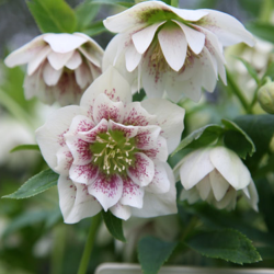 Harvington Hellebore Double Speckled