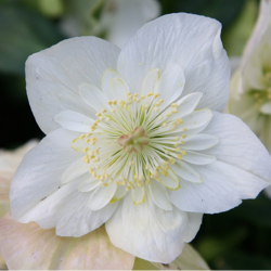 Harvington Hellebore Double White