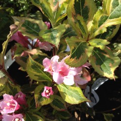 Weigela_magical_Rainbow