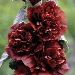 Alcea Rosea Chaters Double Chestnut Brown