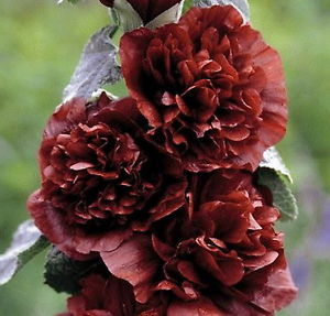 Alcea Rosea Chaters Double Chestnut Brown Wood Cottage