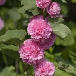 Alcea Rosea Chaters Double Pink