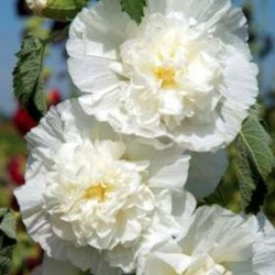 Alcea Rosea Chaters Double White