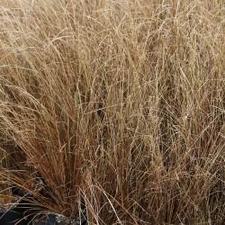 Carex Buchanii