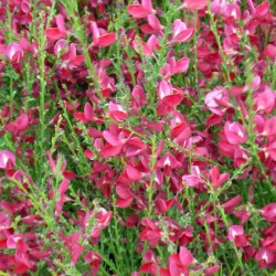 Cytisus Windelsham Ruby