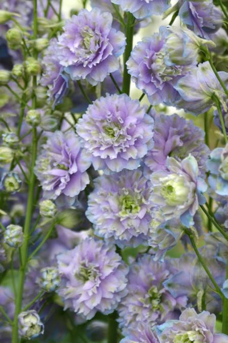 Delphinium Highlander Moonlight Wood Cottage Nursery