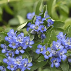 Gentiana Cruciata Blue Cross