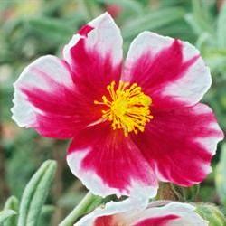 Helianthemum Raspberry Ripple