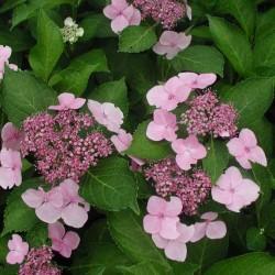 Hydrangea Macrophylla Mariesii