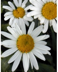 Leucanthemum X Maximum Silver Princess